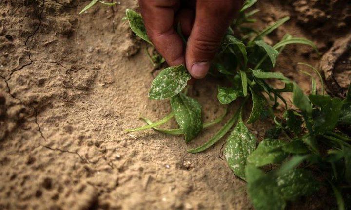 كيف يفتك الاحتلال بمحاصيل غزة الزراعية ؟