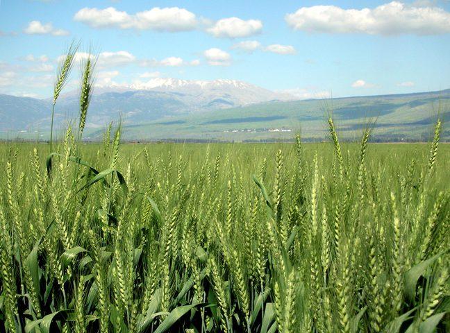 مصر تسمح بتوريد القمح لغزة للمرة الأولى
