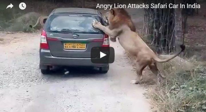 اسد يهاجم سيارة في محمية طبيعية بالهند
