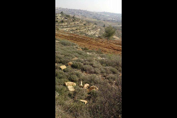 مستوطنون يقتلعون 400 شتلة زيتون غربي الخضر