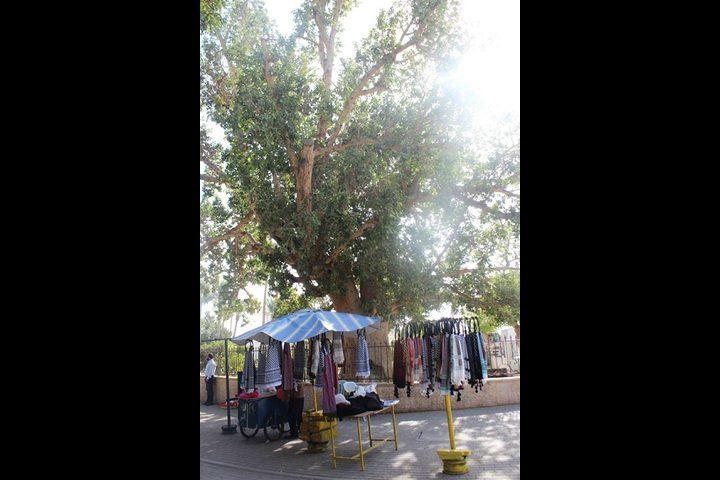 شجرة الجميز المقدسة..أكبر شجرة معمرة في أريحا