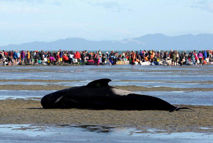 إنقاذ عشرات الحيتان في شواطئ نيوزيلندا