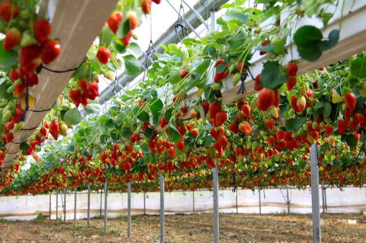 """""""فراولة طُولكرم"""" مهددة.. والمزارعون يحذرون"""