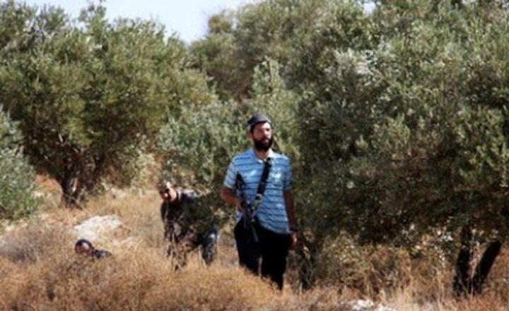 مستوطنون يقطعون أشتال زيتون شرق يطا