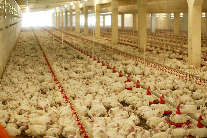 """""""الاحصاء"""": """"الدجاج"""" يرفع مؤشر غلاء المعيشة"""