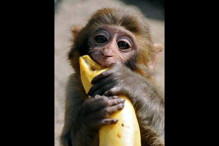 لماذا تحب القرود أكل الموز؟
