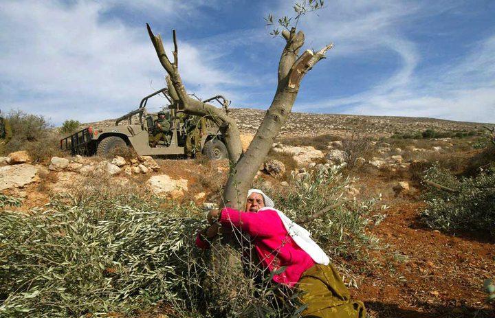 جرافات الاحتلال تقتلع 18 شجرة بدير بلوط