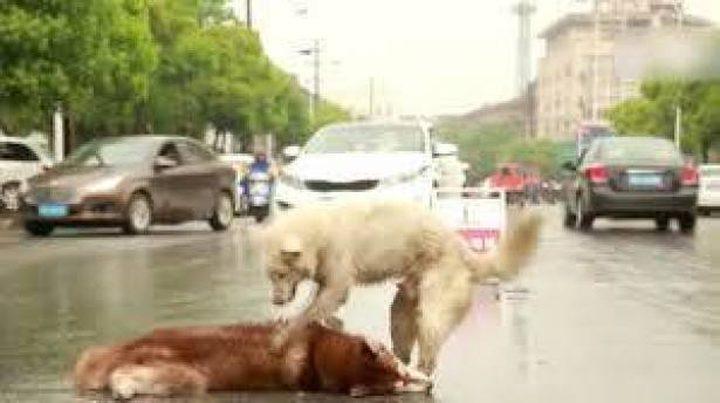 كلب يرفض ترك جثة صديقه! (فيديو مؤثر)