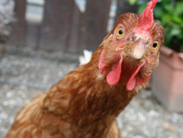 تهريب مليون دجاجة وآلاف الصيصان شهريًا