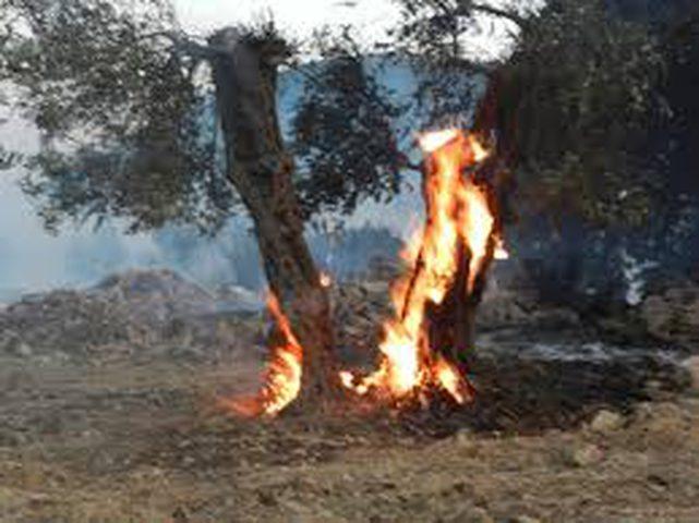 مستوطنون يحرقون أشجار زيتون في بلدة بورين