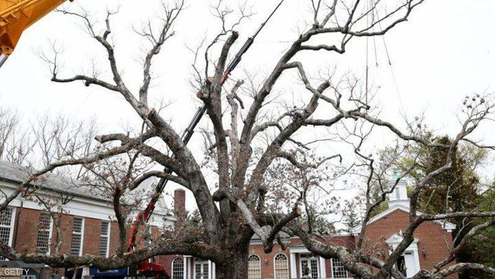 تحويل شجرة معمرة لأثاث في امريكا