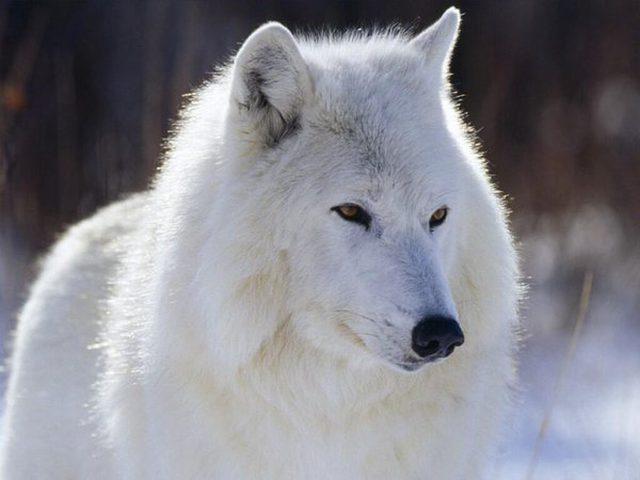 نتيجة بحث الصور عن ذئب