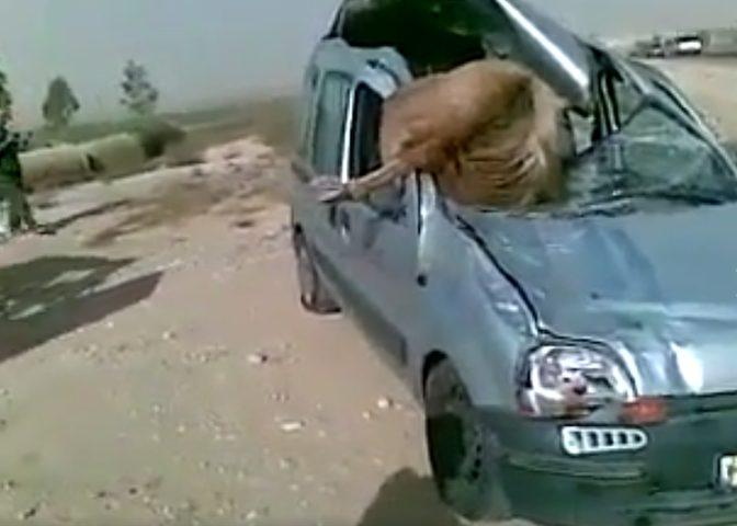 شاهد... حادث سير مروع بين حصان وسيارة