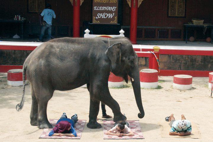 شاهد مساج الفيل عجزت عنه نواعم الأندية المتمرسة