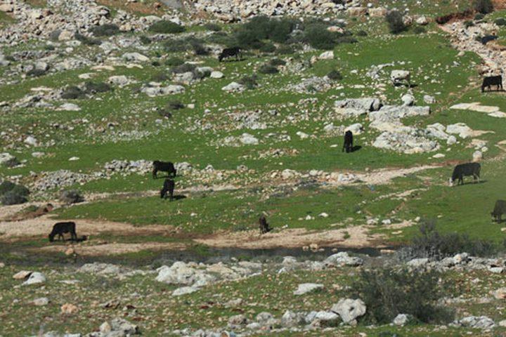 """""""ابقار المستوطنين"""" في اراضي الفلسطينيين"""