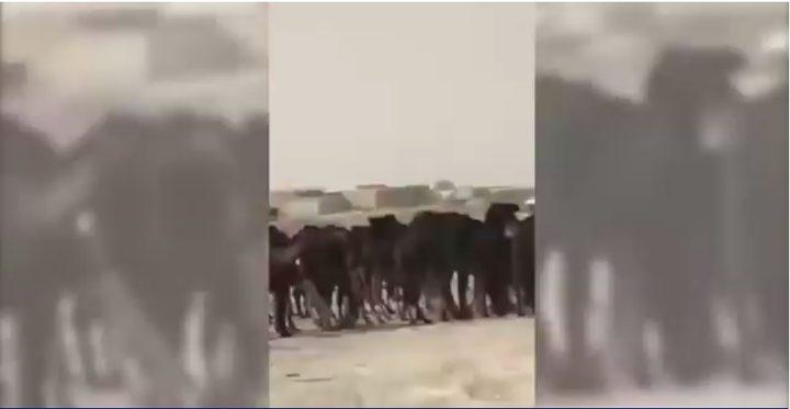 حصار قطر.. المواشي تدفع الثمن أيضاً