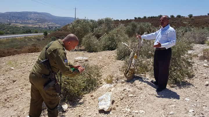 مستوطنون يقتلعون عشرات أشتال الزيتون غرب نابلس (صور)