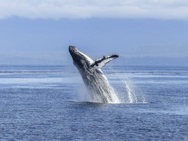 علماء : أجنة الحوت الأحدب مشابهة جينياً للبشر