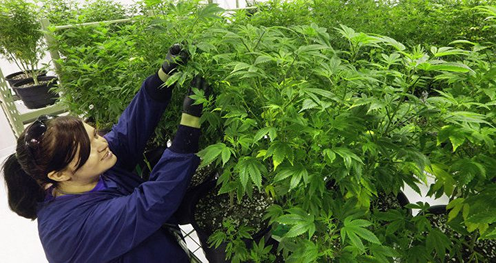 ولاية أمريكية تسمح ببيع الماريجوانا للترفيه!