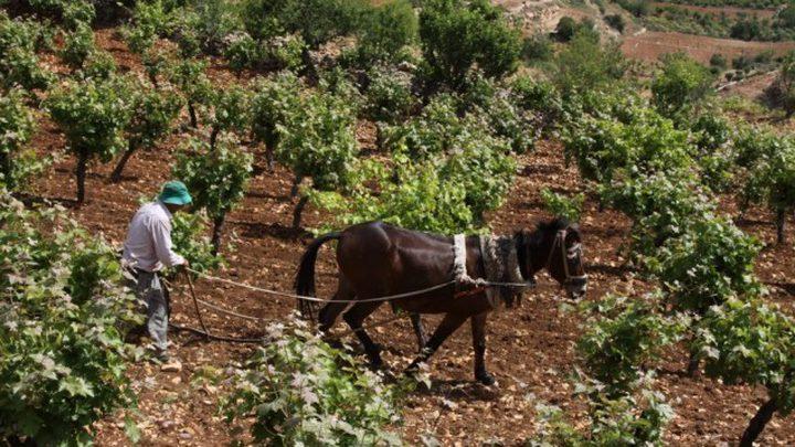 الاحتلال يواصل منع مزارعي جالود من حصاد مزروعاتهم