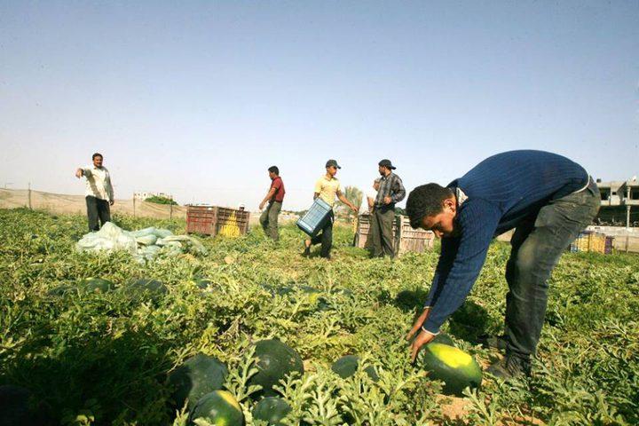 بطيخ غزّة يكفيها
