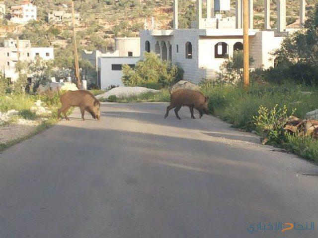 """بعد الكلاب الضالة .. خنازير تتجول بين المنازل في نابلس """"فيديو"""""""