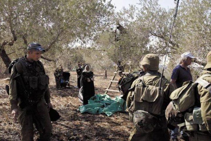 الاحتلال يمنع نشطاء من قطف ثمار الزيتون