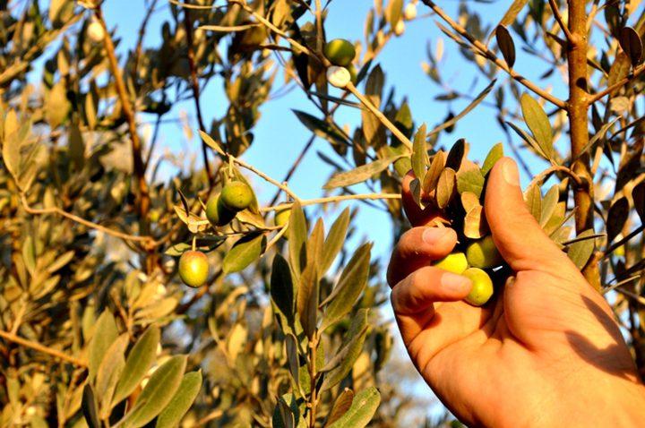 تنفيذ يوم تطوعي لقطف الزيتون في تل الرميدة