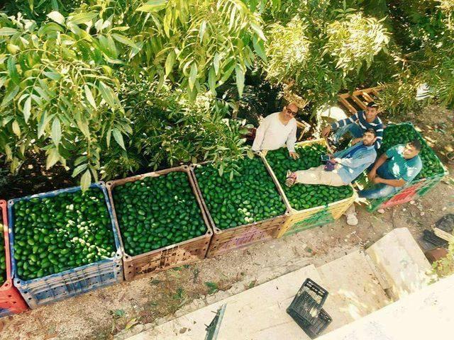 في قلقيلية.. الحبة الخضراء سارقة الأنظار