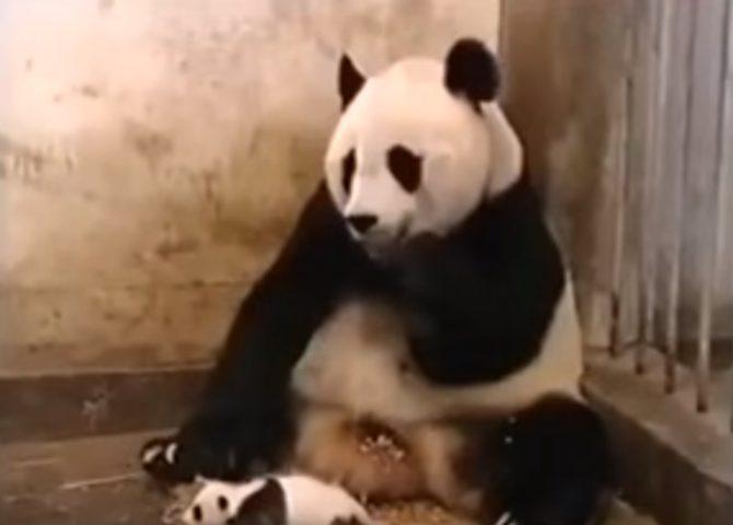 شاهد عندما يعطس الباندا