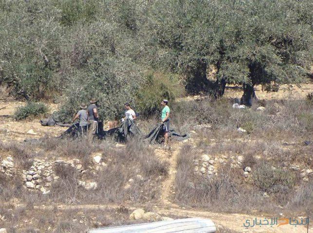 مستوطنون يسرقون ثمار مئات أشجار الزيتون