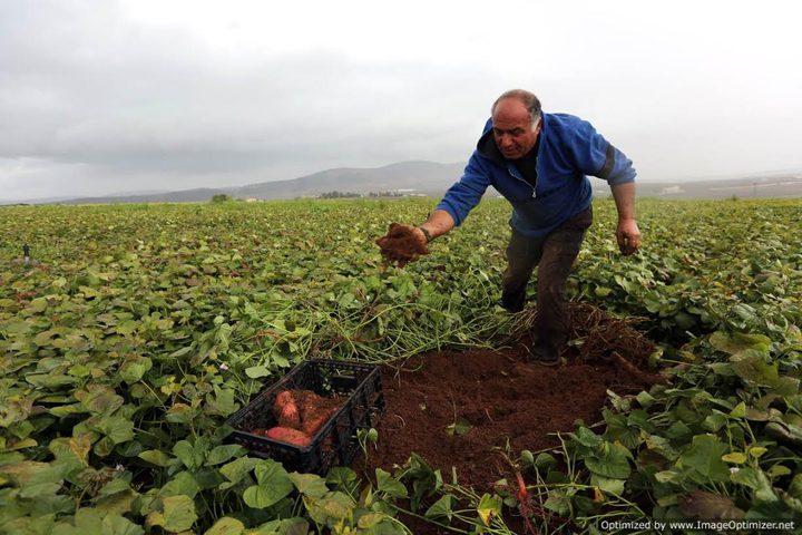 """البطاطا الفلسطينية تحل أزمة """"سوء التخزين"""" في الأردن"""