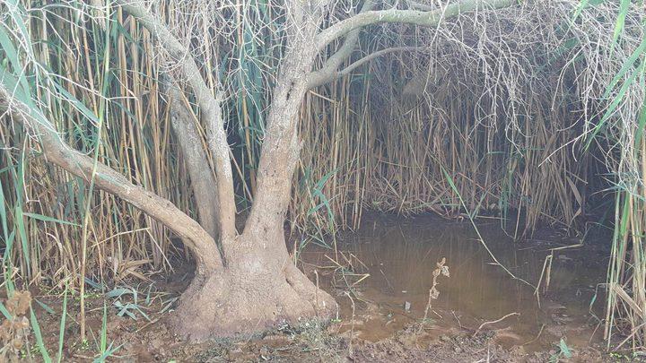 إعدام عشرات أشجار الزيتون بمياه المستوطنات العادمة