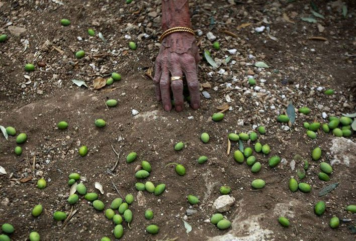 """""""وثائق تثبت ملكية الأرض"""" ... اسْتيطان يتجاوز سرقة ثمار الزيتون"""