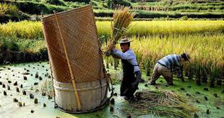 زراعة الأرز في ماء البحر