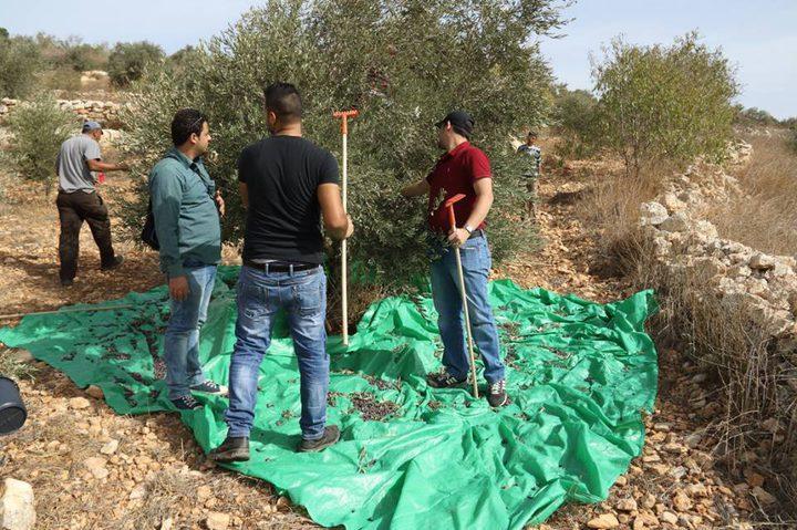 يوم تطوعي لقطف الزيتون في قرية طورة بمحافظة جنين