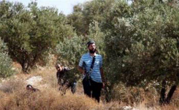 مستوطنون يسرقون محصول الزيتون شرق قلقيلية