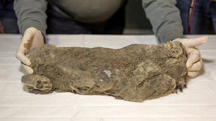 العثور على أشبال متحجرة من العصر الجليدي