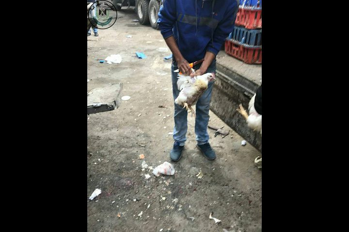 ضبط 700 كغم دجاج حي غير صالح للاستهلاك الأدمي
