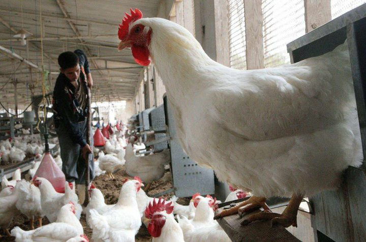 وقف استيراد الدواجن وقرار بتعويض المزارعين