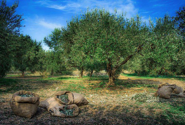 شجرة عمرها 9 قرون وتنتج 1500 لتر من زيت الزيتون