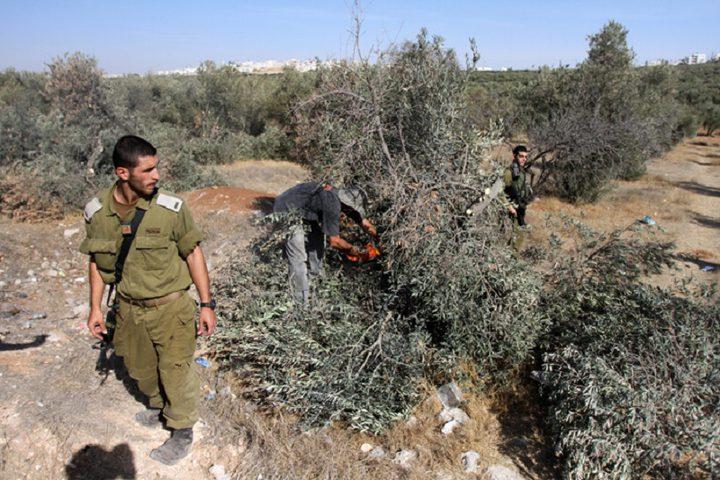 الاحتلال يقطع عشرات الأشجار شمال الخليل
