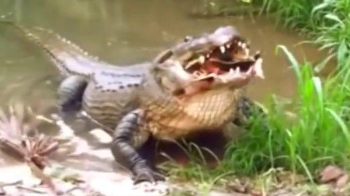 تمساح اسطوري يلتهم 300 شخص!
