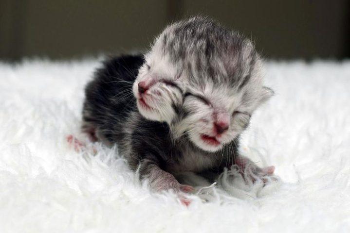 قطة بوجهين هي الأغرب في العالم