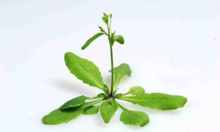 """""""جين"""" جديد في النباتات يمكن أن يساعد في مكافحة الأمراض"""