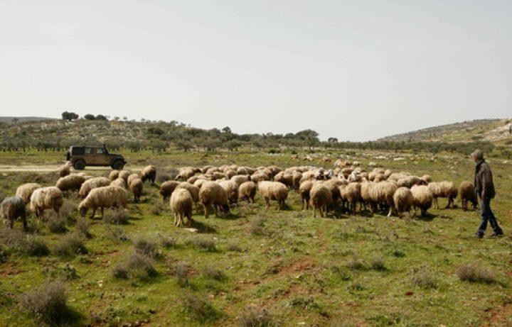 قوات الاحتلال تعتقل راعي أغنام  غرب دورا
