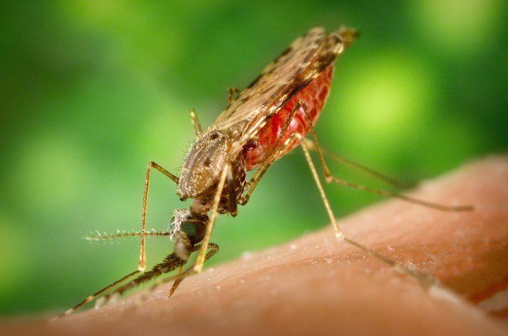 طفيليات الملاريا تحزم أمتعتها وتنتقل من الحشرات إلى البشر