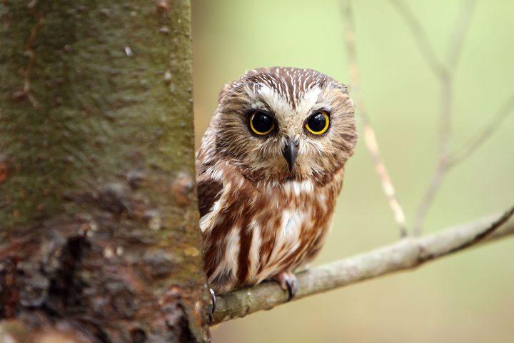 طائر البوم بين الحكمة و التشاؤم (فيديو)