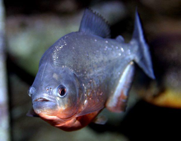شاهد الأسماك التي تملك أسناناً كأسنان الإنسان