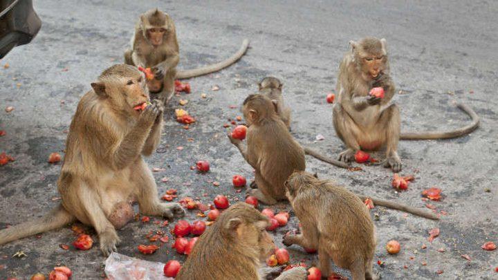 القرود تجتاح وتنهب قريتين في تايلاند